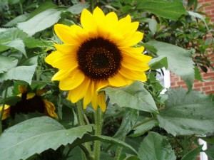 rent in arizona: sunflower
