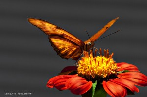 apts arizona: butterfly1